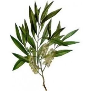 Tea Tree-300x300