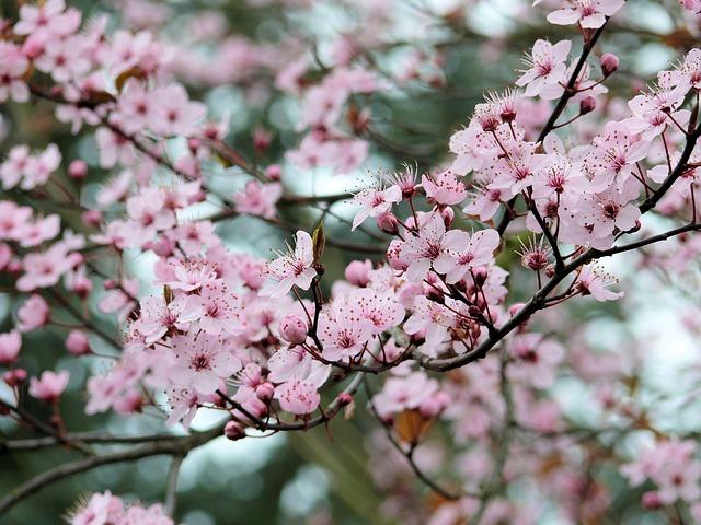 blossom-933518_640